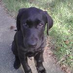 Boy am I good lookin! Hi, I'm Puppy, a black labrador. In this picture I must have been 4 or 5 months old. Now I'm a strapping, handsome and charming 3-year old gentleman who LOVES my runs with Annapolis Dog Walkers. I also love my doggie playdates because I love to hang out with all the cute girls!