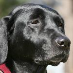 I'm Foxy, a gorgeous labrador retriever who loves to fish! On my pier at home, I have special lights so I can watch the fish swim at night. I also love when Mommy and Daddy go away and Annapolis Dog Walkers watch me. We go on special trips downtown and on long walks around the neighborhood!